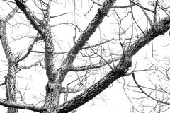 Monochrome bombax tree skin shed leaves in foreston. Royalty Free Stock Images