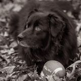 Monochrome Border Collie Royalty Free Stock Images