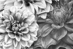 Monochrome Bouquet of Dahlia Flowers Royalty Free Stock Photos