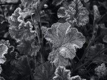 Monochrome close up image of ice crystals on frozen leaves in winter royalty free stock images