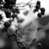 Monochrome close up of spider`s web hanging from red crab apple tree in autumn. Close up of spider`s web with dew drops hanging from red crab apple tree in royalty free stock photos