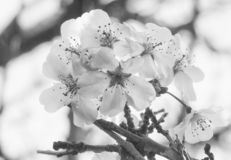 Monochrome close up of white cherry blossom on a bright blurred background royalty free stock photos