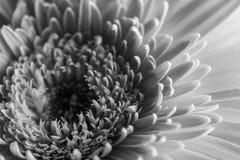 Daisy closeup. A monochrome closeup of a daisy Royalty Free Stock Photography