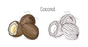 Monochrome contour and colorful drawings of coconut. Whole and split in cross section ripe fruit or drupe with aromatic. Flesh isolated on white background Royalty Free Stock Images