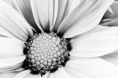 Monochrome Daisy Flower White Carpels Close up Royalty Free Stock Photos