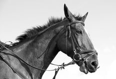 Monochrome de cheval Photo libre de droits