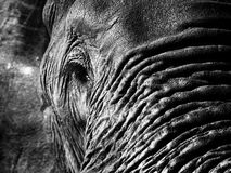 Monochrome elephant closeup Royalty Free Stock Photos