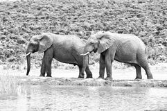 Monochrome elephants, South Africa Royalty Free Stock Image