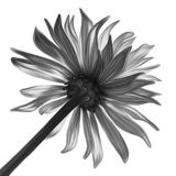 Monochrome flower. Back lighted, hand drawn illustration Royalty Free Stock Image