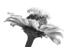 Monochrome flower closeup. Blossom flower isolated, black and white style Royalty Free Stock Photography