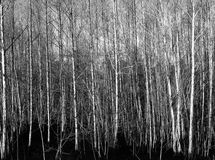 Monochrome forrest. Forrest with birches and black ground Stock Photos
