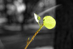 Monochrome green highlighted leaf in sunbeam swaying in the wind. Monochrome green highlighted small leaf in sunbeam swaying in the wind stock photography