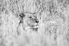 Monochrome hiding lion. A monochrome Lion hiding between grass in Northern Namibia Stock Photography
