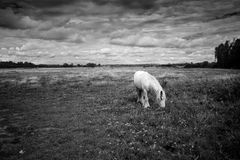 Monochrome horse. West Sussex U.K Stock Photo