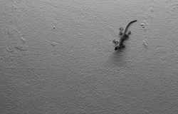 Monochrome house lizard on wall Stock Images