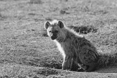 Monochrome image of a adolescent Hyeana on the African Plains Royalty Free Stock Photos