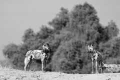 Monochrome image of African wild dogs in clear view with a bush background in south lunagwa. Monochromw inage of two wild dogs standing on an elevated mound Royalty Free Stock Photos