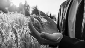 Monochrome image of businessman holding ear of wheat stock image