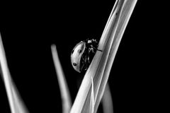 Monochrome image of a ladybug climbing on grass Royalty Free Stock Photography