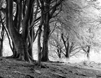 Monochrome image of misty beech woodland with large ancient tree Royalty Free Stock Image