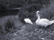 Monochrome image of swans Stock Photo