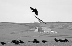 monochrome image of two crows in close up flying against a countryside background of yorkshire hillside fields and stone houses stock image