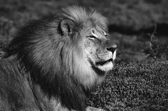 Monochrome Kalahari lion, Panthera leo Stock Photography