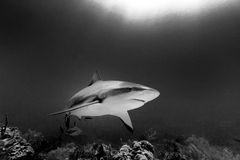 Monochrome of large reef shark, Carcharhinus amblyrhynchos, swimming above coral reef. Close-up of large Reef shark, Carcharhinus amblyrhynchos, swimming above stock images