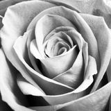 Monochrome macro close up shot of  Rose flower head Stock Image