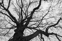 Monochrome melancholic image of tall branchy gloomy oak tree in winter. Melancholic winter view of bare branches on the background of grey overcast sky is full Royalty Free Stock Images