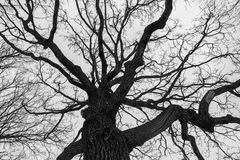 Monochrome melancholic image of tall branchy gloomy oak tree in winter. Melancholic winter view of bare branches on the background of grey overcast sky is full Stock Photo