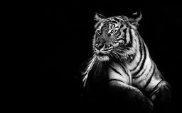Monochrome noble Tiger. Asian tiger sitting in black and white with some freespace Stock Images