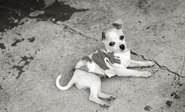 Diva Chihuahua on Porch. Monochrome overhead, closeup shot of a Chihuahua puppy wearing a dress, lying on its side on concrete, looking up directly at the camera stock photos