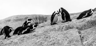 Group of African penguins interacting with each other on the rocks at Boulders Beach in Cape Town, South Africa. royalty free stock photo