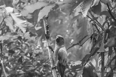 Monochrome parrot, Sun Conure Aratinga solstitialis, standing on the branch, breast profile. Monochrome parrot, Sun Conure Aratinga solstitialis, standing on Stock Image