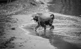 Monochrome photo of active spaniel carrying stick on sand beach Stock Photography