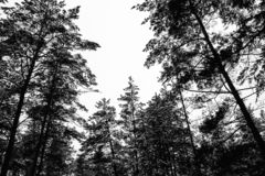 Monochrome photo of pine forest in winter.  royalty free stock photography