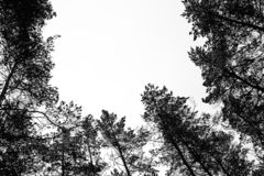 Monochrome photo of pine forest in winter.  stock images