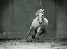 Monochrome photo running lusitano horse with streamed mane on Stock Photos