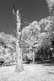 Sweet chestnut tree trunk. A monochrome photo of a sweet chestnut tree trunk stock photos