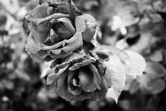 Monochrome Photography of Flowers Stock Images