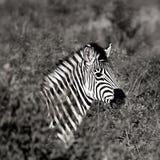 Monochrome Photography of Zebra Stock Images