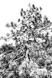 Monochrome Pine Tree Stock Image