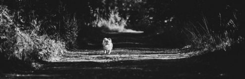 Beautiful pomeranian spitz orange color. Nice friendly dog pet on country road in the park in the summer season. Monochrome portrait of a beautiful pomeranian royalty free stock photography