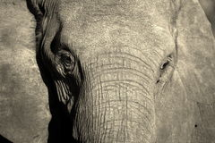 Monochrome portrait of elephant face Royalty Free Stock Image