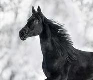 Monochrome portrait of running black horse royalty free stock photography