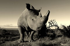 Monochrome portrait of white rhino. A low angle monochrome portrait photo of a male white rhinoceros Bull. Showing off hos large horns stock photo