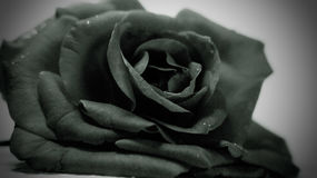 Monochrome rose. This is actually the photo of a whitish pink rose which I captured using a B/W filter Stock Image