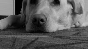 Monochrome sad labrador on the carpet.  Stock Photos