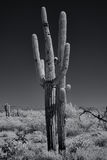 Monochrome saguaros Royalty Free Stock Photography